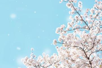 Foto op Plexiglas Kersenbloesem 桜 花吹雪 満開 青空