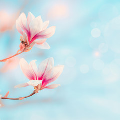 Magnolia blooming at blue sky with bokeh and sunlight. Spring nature background Springtime outdoor concept. Magnolia tree blossom