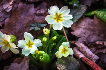 Wild yellow primrose flower or primula vulgaris in a forest