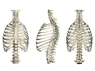 Set with human ribcage and spine. 3D. Front, side and rear view. Vector illustration
