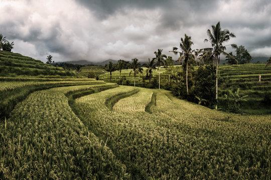 Jatiwulih Rice Terraces in Bali