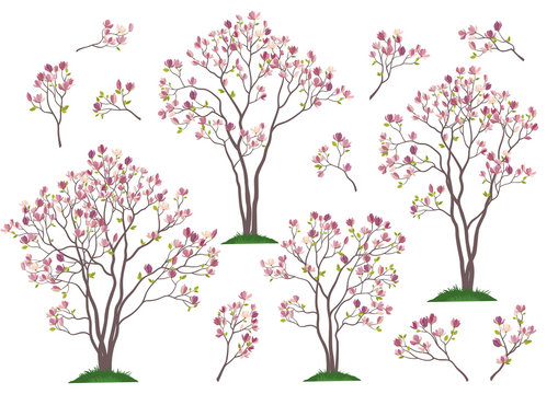 Set Spring Magnolia Trees and Branches with Pink Flowers and Green Leaves Isolated on White Background. Vector