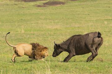 Photo sur Aluminium Buffalo Stand Off