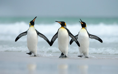 Spoed Fotobehang Pinguin King penguins coming from the ocean