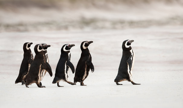 Magellanic penguins heading out to sea for fishing