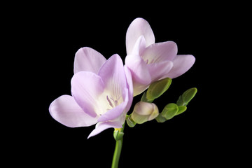 Beautiful freesia with fragrant flowers on black background