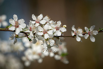 Blüten an einem wilden Kirschbaum im Frühling