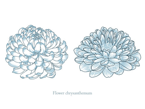 Chrysanthemum flower painted by hand. Element for design and creativity.