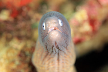 Close-up of a Greyface Moray (Gymnothorax thyrsoideus). Anilao, Philippines