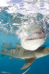 Lemon Shark (Negaprion brevirostris) Showing Teeth, Close-up Split Shot at Surface. Tiger Beach, Bahamas