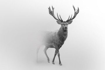 Poster Hert Deer nature wildlife animal walking proud out of the mist