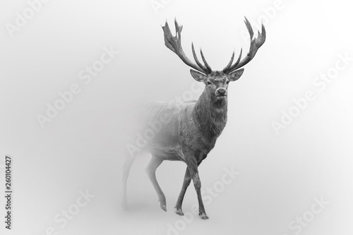 Wall mural Deer nature wildlife animal walking proud out of the mist