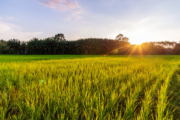 Rice field with sunrise or sunset and sunbeam flare Wall mural