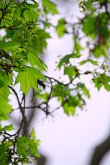 fresh spring green leaves