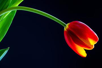 Red tulip flower isolated on a blue background