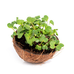 Microgreen sprouts raw sprouts, healthy eating concept in coconut