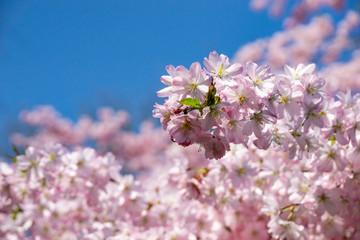 blossom of a cherry tree - spring or springtime