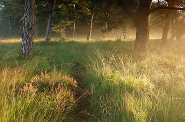 Wall Mural - path in grass between pine trees at sunrise