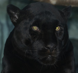 Canvas Prints A melanistic black jaguar is a color morph which occurs at about 6 percent frequency in populations