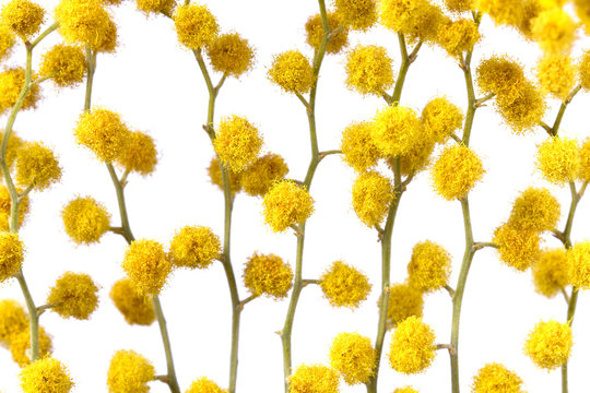 Flowers of yellow mimosa on a white isolated background. Stems with mimosa flowers on a white background.