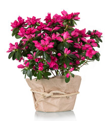 Foto auf Acrylglas Azalee Luxury azalea flower pink in pot isolated on white background