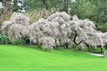 Cherry blossom against the lawn