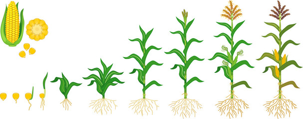 Fototapeta Life cycle of corn (maize) plant. Growth stages from seeding to flowering and fruiting plant isolated on white background obraz