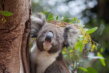 Portrait cute Australian Koala Bear sitting in an eucalyptus tree and looking with curiosity. Kangaroo island.