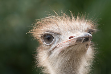 Poster Struisvogel ostrich in a zoo in italy