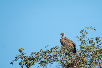 White backed vulture sitting in a tree and surveying the scene. Photographed in the late afternoon in the Sabi Sands Game Reserve, Kruger, Mpumalanga, South Africa.
