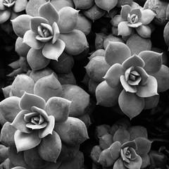 Black and white image of Echeveria plant.