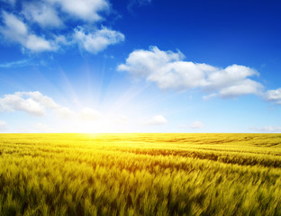 Fototapete - Wheat field and sun
