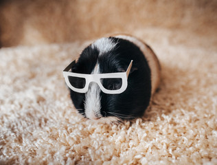 Guinea pig with glasses. Businessman and deputy. Portrait of a cute pet on a woolen and background. Copy space. Funny, smart and funny pig. Beautiful picture. Blind animal. Stylish bespectacled.