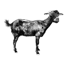 skinny goat stands tall and looks into the camera, sketch vector graphics monochrome illustration on white background