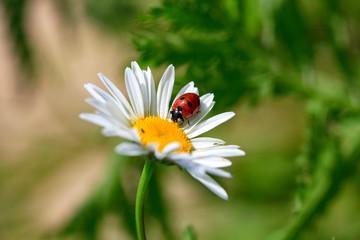Fotobehang Lieveheersbeestjes Ladybird on a beautiful daisy flower on a green meadow