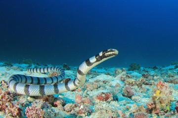 Fototapete - Banded Sea Krait (Snake)