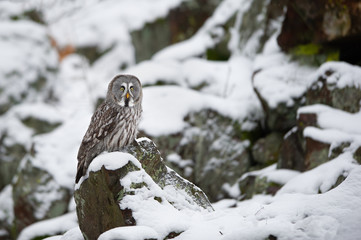 Fototapete - Great grey owl sitting on rock in winter
