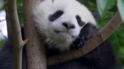 Wall Mural - Cute panda baby on the tree