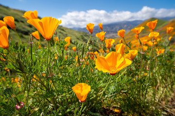 Beautiful poppies opening up during the super bloom in Southern California in Walker Canyon