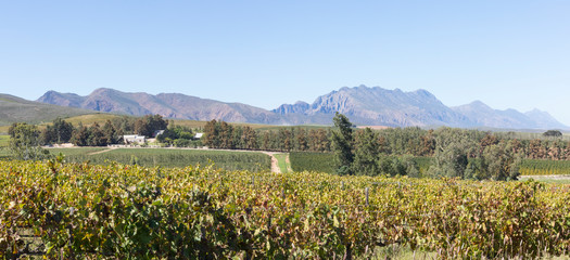 Panorama of the Klaasvoogds  area of the Robertson Wine Valley, Western Cape Winelands, South Africa with a view to the Langeberg Mountains over vineyards