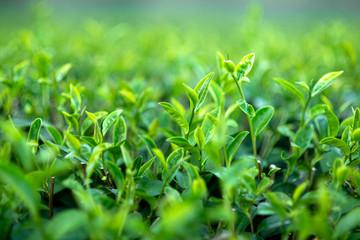 green tea bushes