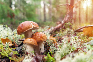 Three beautiful boletus edulis known as penny bun in a pine forest at sunrise
