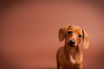 Adorable Miniature Dachshund Puppy - Dog Portrait