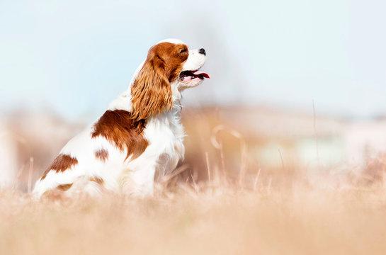 Cavalier King Charles Spaniel dog on the grass