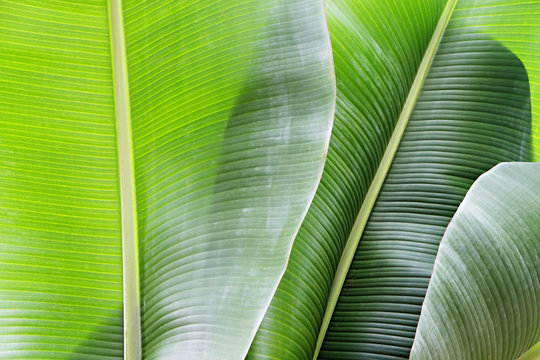 Group of big green banana leaves of exotic palm tree in sunshine on white background. Tropical plant foliage with visible texture. Pollution free symbol. Close up, copy space.