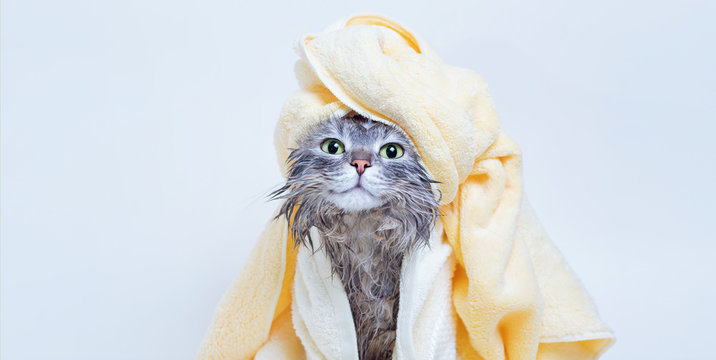 Funny smiling wet gray tabby cute kitten after bath wrapped in yellow towel with green eyes. Pets and lifestyle concept. Just washed lovely fluffy cat with towel around his head on grey background.