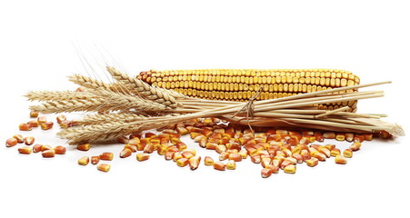 Dry ears of wheat and cob of corn with grain isolated on white background