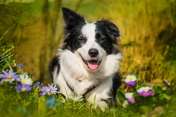 Border collie lying in a spring meadow