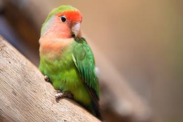 Nyasa lovebird or lilians lovebird, exotic parrot bird, perched on a tree branch .