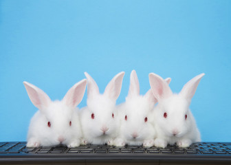 Four adorable white albino baby bunnies perched on a computer keyboard with blue background. All looking at viewer, or monitor screen direction. Technology concept